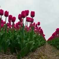 """De grootste bloembollenvelden zijn in het voorjaar te zien in de omgeving Breezand, Anna Paulowna en omgeving Zijpe.  Zijpe is bekend om het item """"bloeiendzijpe"""", Breezand begint al begin maart met de """"lente tuin"""". Tevens zijn  Breezand en Anna Paulowna bekend door de """"bloemendagen"""""""