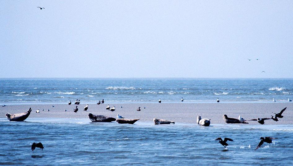 Een adembenemend gezicht!. U kunt deze zeehonden in hun natuurlijke omgeving bekijken vanuit rondvaart tochten die vertrekken vanaf de haven van Den Oever.